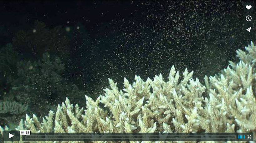 screenshot of a video about coral spawning