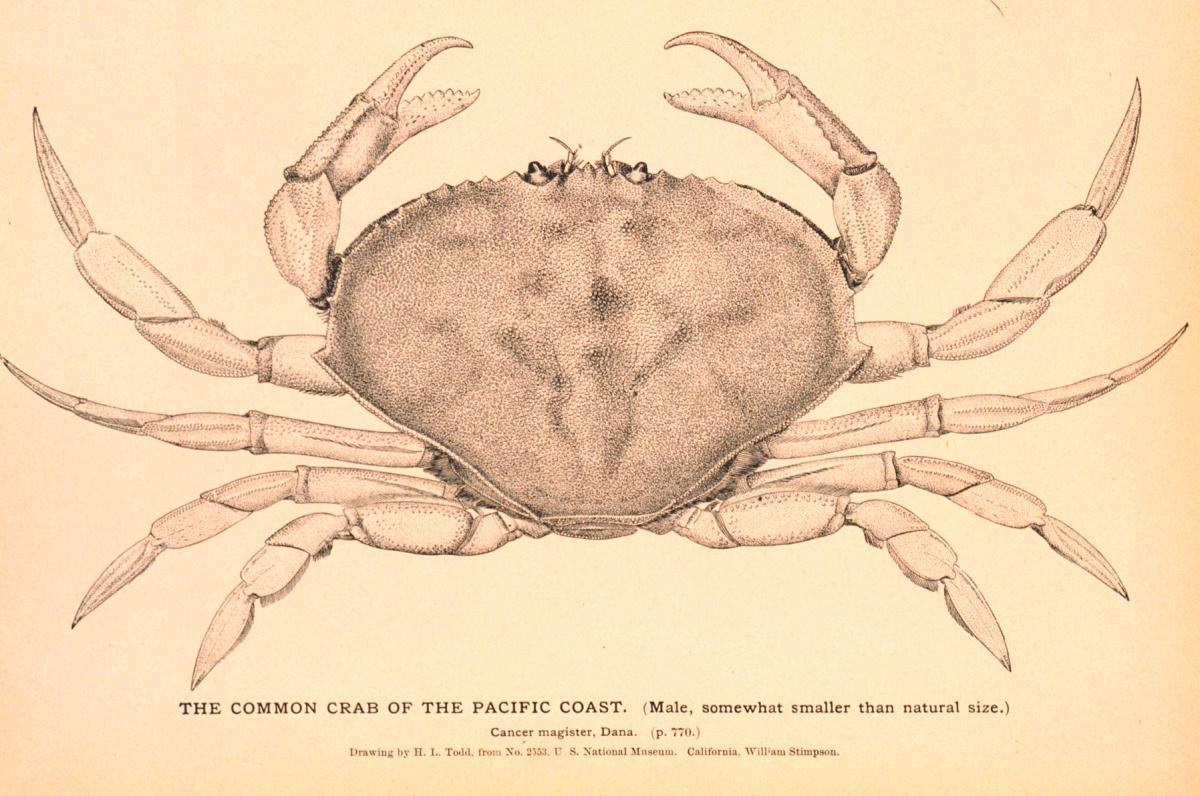 drawing of a crab