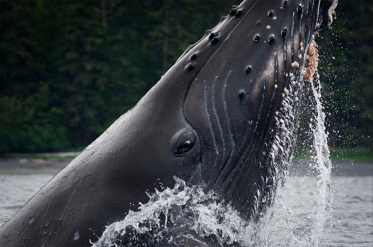 photo of a humpback whale feeding