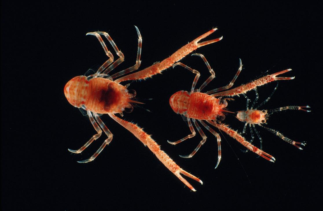 photo of 3 red crabs