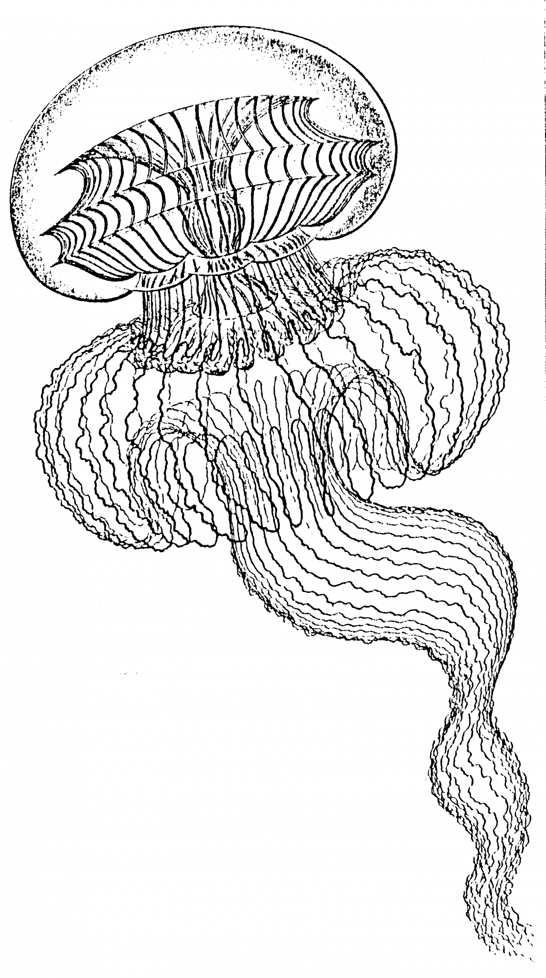 Ernst Haeckel Jelly drawing