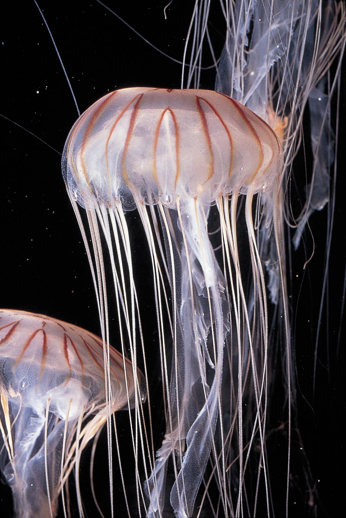 Long Tentacled Jelly