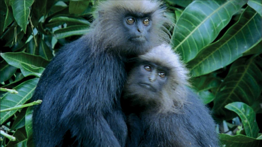 photo of leaf monkeys