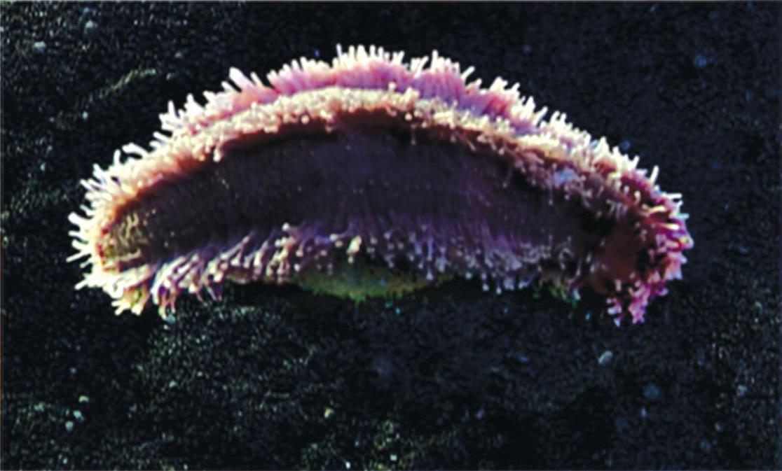 Sea Cucumber Body Plan