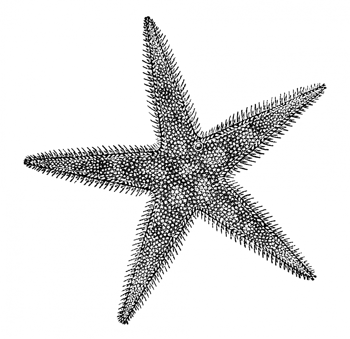 Sea Star Diversity Drawing