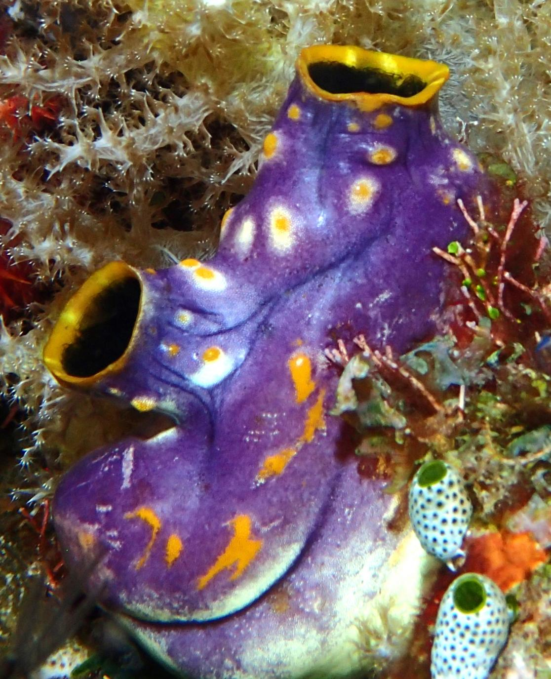 photo of tunicate