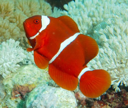 photo of clownfish