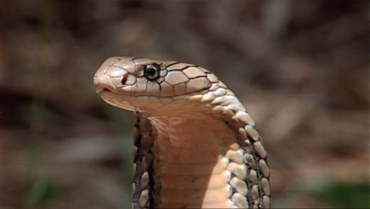 photo of cobra