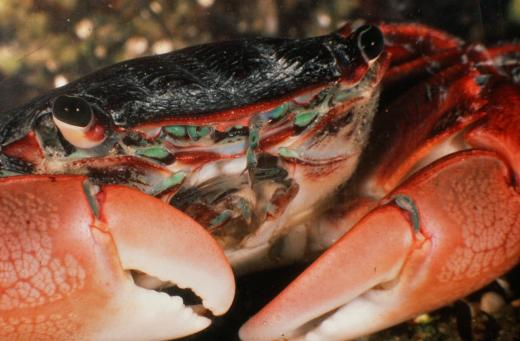 close-up photo of a crab