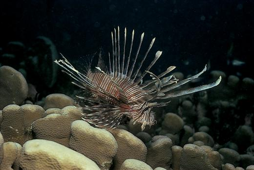 photo of Lionfish